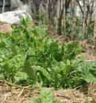 Gli ortaggi nell'orto di aprile