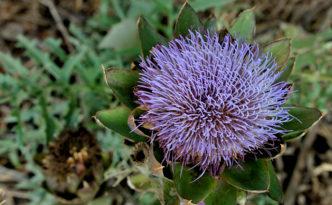 fiore carciofo