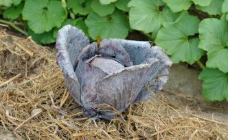 Il cavolo cappuccio rosso-violaceo