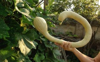 Zucchina a Cigno