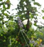 La Lavanda e la farfalla