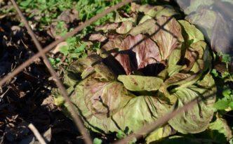 Cicoria variegata di Chioggia